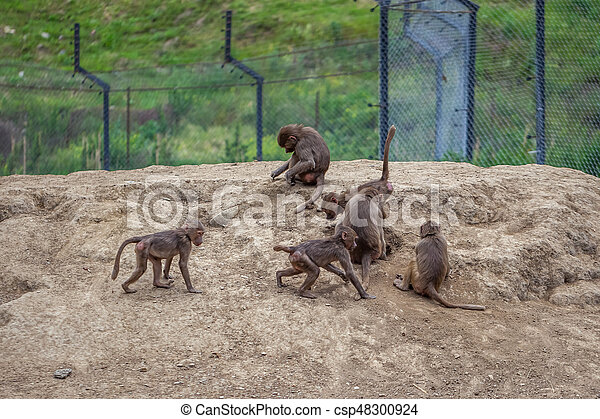 Group of monkeys in the Tbilisi zoo - csp48300924