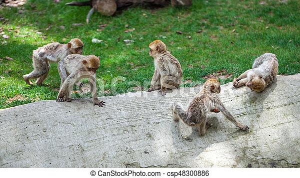 Group of monkeys - csp48300886