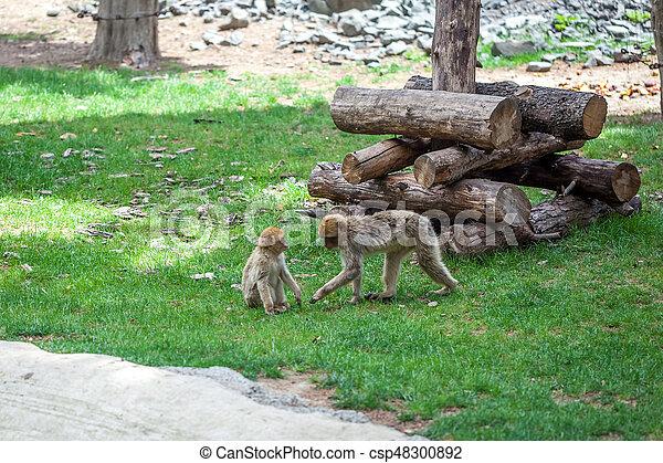 Group of monkeys - csp48300892