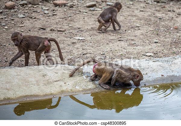 Group of monkeys - csp48300895