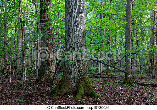 Group of old oaks in natural stand - csp19730026