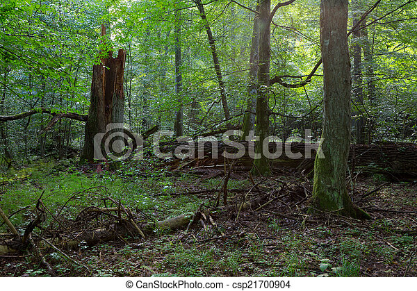 Group of old trees in natural forest - csp21700904