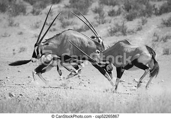 Group of Oryx fight for dominance in the hot Kalahari sun artistic conversion - csp52265867