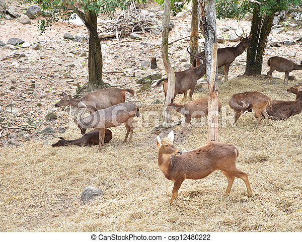 Group of Sambar deer in forest  - csp12480222