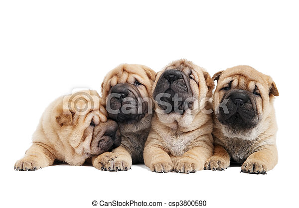 group of sharpei dog - csp3800590