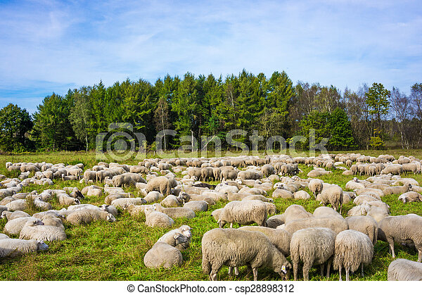 group of sheep on a pasture. Grazing lamb - csp28898312