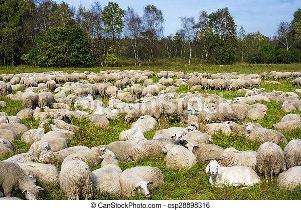 group of sheep on a pasture. Grazing lamb - csp28898316