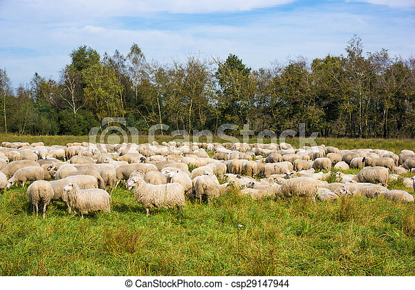 group of sheep on a pasture. Grazing lamb - csp29147944