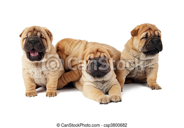 group of small sharpei dog - csp3800682