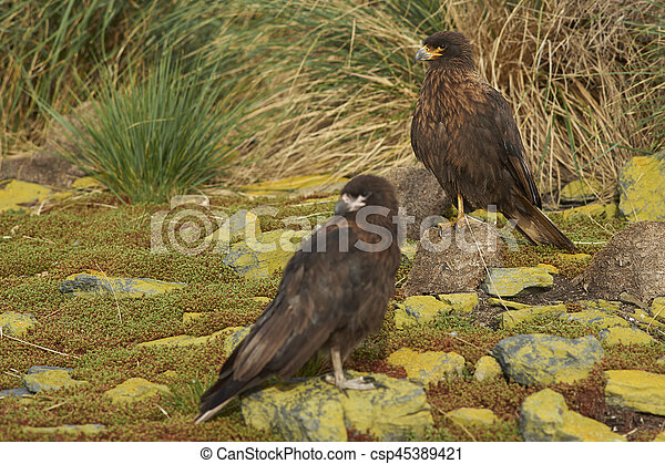 Group of Striated Caracara - csp45389421