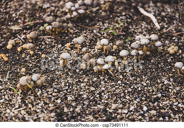 group of tiny mushrooms popping up from the ground among wet soil and gravel - csp73491111