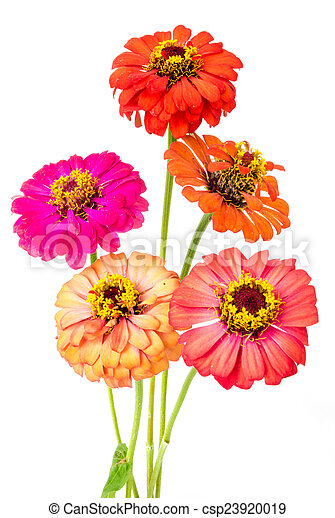 group of zinnia flowers - csp23920019