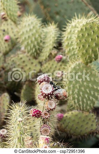 groupe, cactus, méditerranéen, poires, leur, épineux, îles, agriculture, rouges - csp72951396