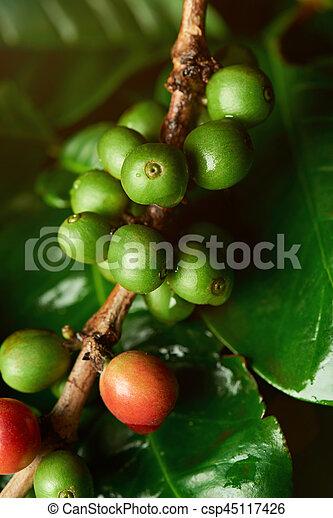Growing Coffee Beans On Tree Macro Close Up Green Coffee Crop