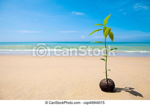 growing on the beach, Sprout of pong pong tree Suicide tree, Pong-pong, Othalanga (Cerbera odollam) - csp44944015