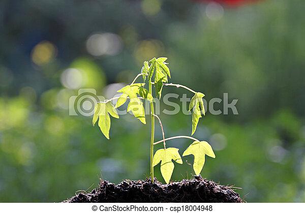 Semillas papaya creciendo. - csp18004948