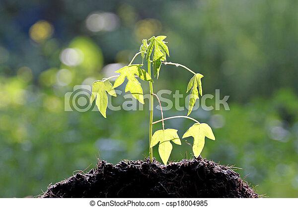 Semillas papaya creciendo. - csp18004985