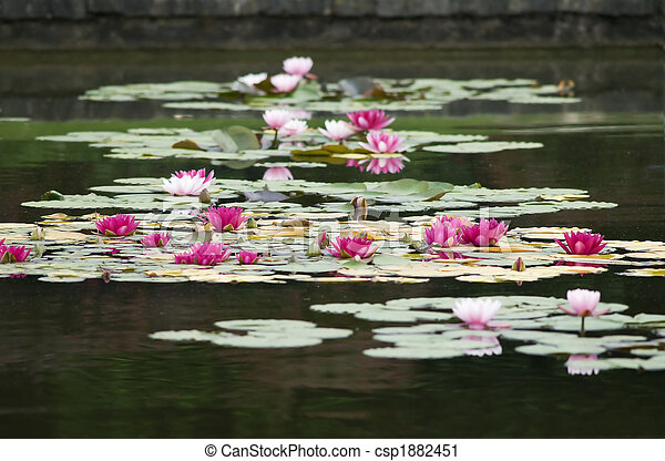 Gruppo Di Ninfee/group Of Water Lilies   Csp1882451