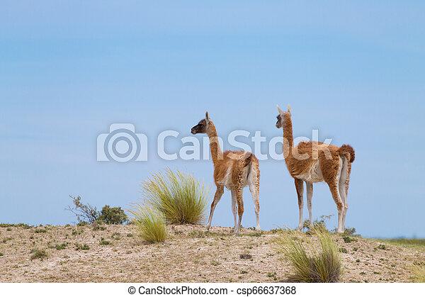 Guanaco close up, wildlife from Patagonia, Argentina - csp66637368