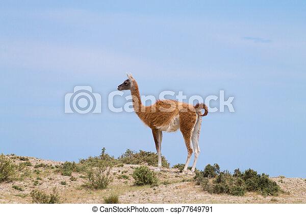 Guanaco close up, wildlife from Patagonia, Argentina - csp77649791