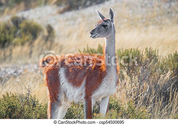 Guanaco in Patagonian steppe, Argentina, Patagonia - csp54500695