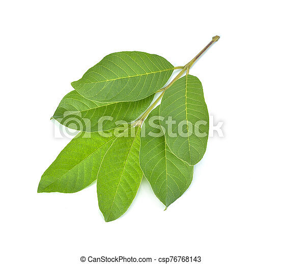 Guava leaf isolated on white background - csp76768143