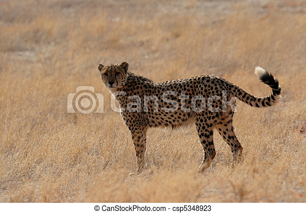 Chita en el desierto de Kalahari, Namibia - csp5348923