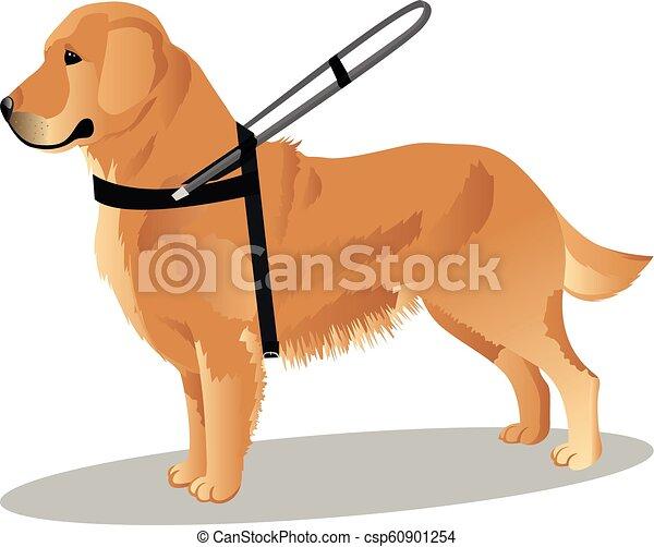 guide dog retriever - csp60901254