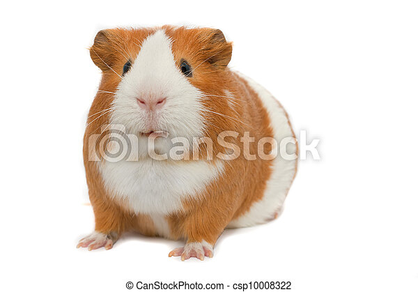 guinea pig on white background - csp10008322