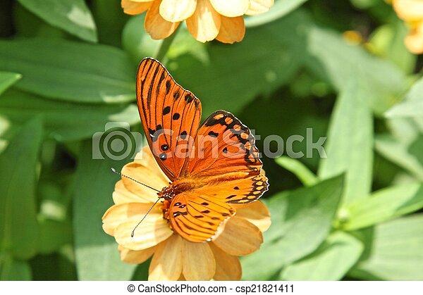 Gulf Fritillary butterfly - csp21821411