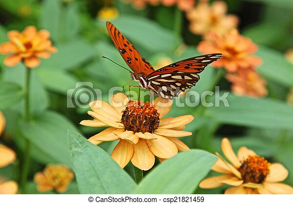 Gulf Fritillary butterfly - csp21821459