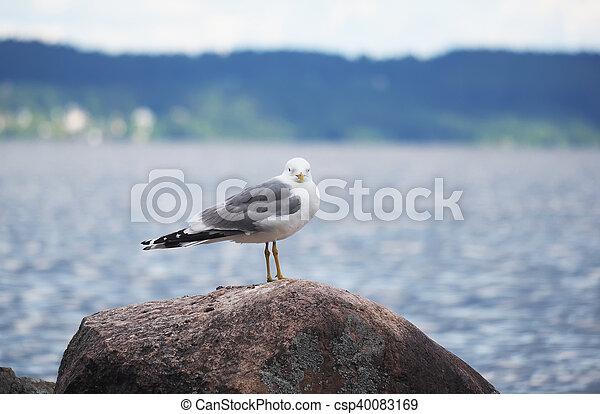 gulls on the lake - csp40083169