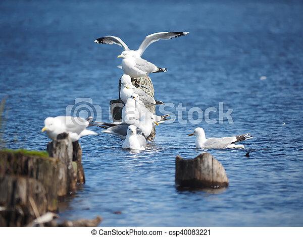 gulls on the lake - csp40083221