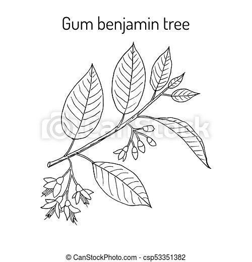 Gum benjamin tree Styrax benzoin , medicinal plant. - csp53351382