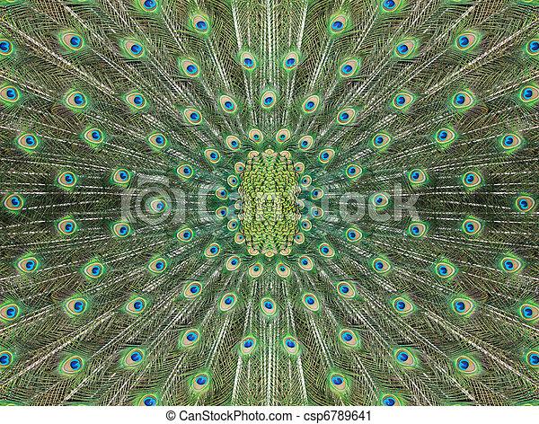 gyönyörű, páva, farok, struktúra - csp6789641