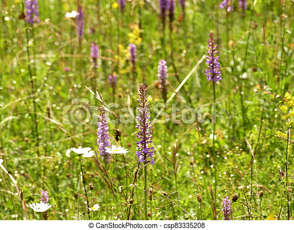 Gymnadenia orchids on a meadow in Germany - csp83335208