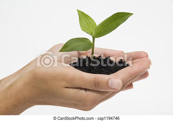 hænder, holde, kimplante - csp1194746