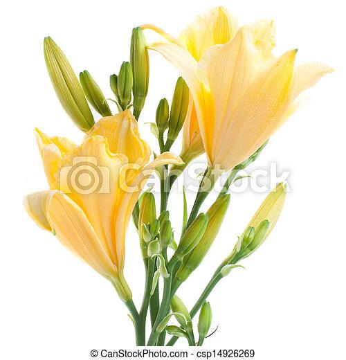 hémérocalles, frais, jaune, waterdrops - csp14926269