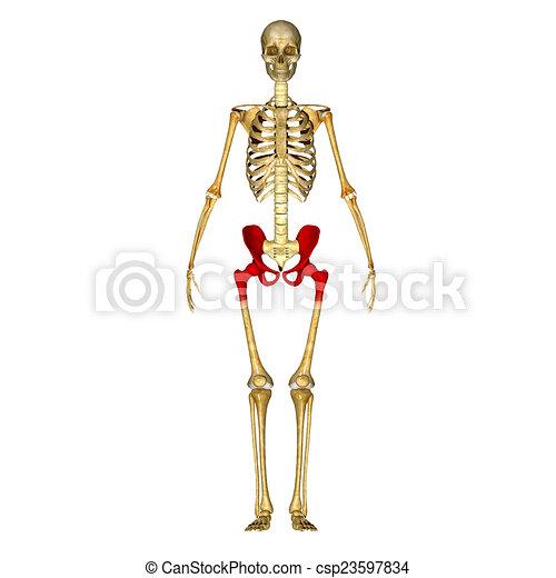 Hüfte, skelett. Hüfte, pubis., bones;, gebildet, drei, ilium ...