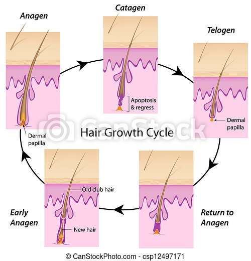 Hair growth cycle, eps10 - csp12497171