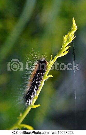 Hairy caterpillar - csp10253228
