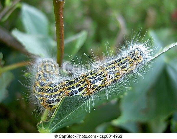 Hairy Caterpillar - csp0014963