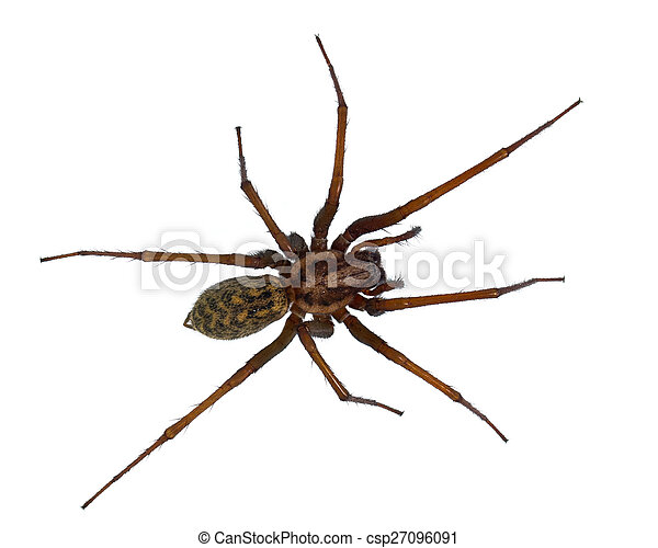 Hairy House spider isolated on white - csp27096091