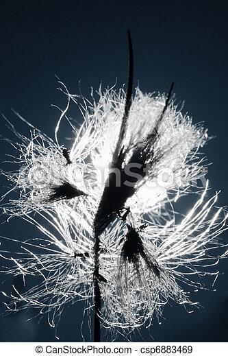 Hairy seeds of Pasque Flower, Pulsatilla patens - csp6883469
