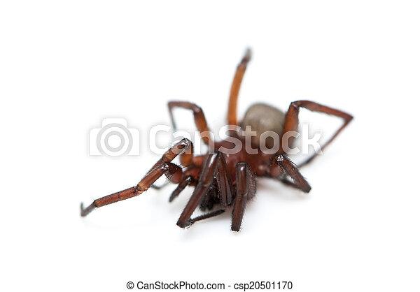 hairy spider  - csp20501170