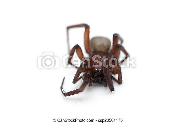 hairy spider  - csp20501175