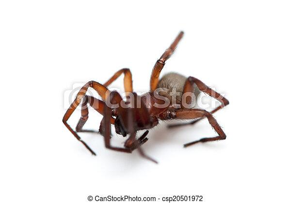 hairy spider  - csp20501972