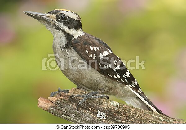 Hairy Woodpecker (Picoides villosus) - csp39700995