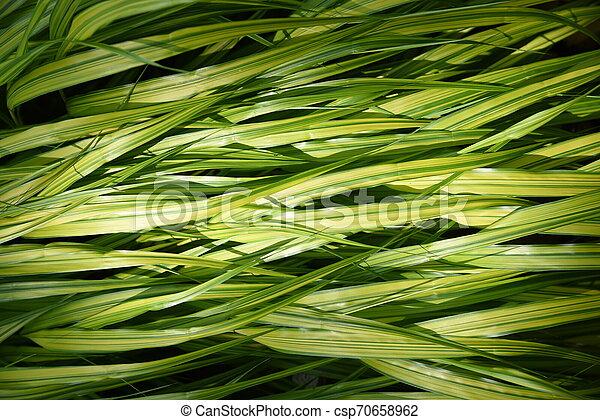 Hakonechloa macra (Hakone grass) - csp70658962