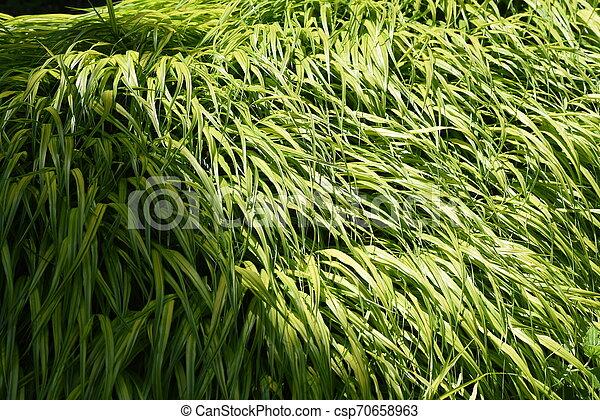 Hakonechloa macra (Hakone grass) - csp70658963